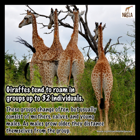 Spotlight on Giraffes - Did you know? | Wildlife Conservation: People and Stories | Scoop.it