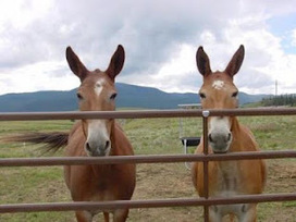 American Museum of Agriculture kills two healthy mules for realistic exhibit | Write... and Ride | The Jurga Report: Horse Health, Welfare, and Care | Scoop.it