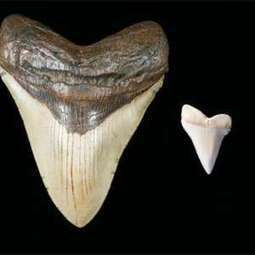 Giant shark teeth may have inspired Mayan monster myths | ScubaObsessed | Scoop.it