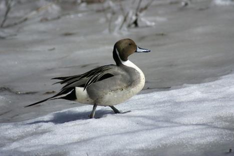 Photos de canards : Canard pilet - Anas acuta - Common pintail duck | Fauna Free Pics - Public Domain - Photos gratuites d'animaux | Scoop.it