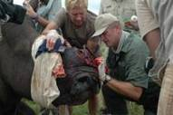 Dr. Fowlds to highlight plight of African rhino in London | Rhino poaching | Scoop.it