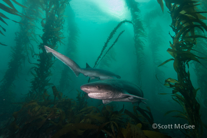 #SevenGill #Sharks Sighted at La Jolla Cove in San Diego, California ~ In Focus #UnderwaterPhotography Blog | Rescue our Ocean's & it's species from Man's Pollution! | Scoop.it