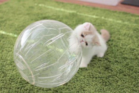 Let The Kittens In Hamster Balls Roll! | Les chats c'est pas que des connards | Scoop.it