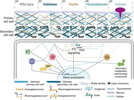 Plant cell wall-mediated immunity: cell wall ch