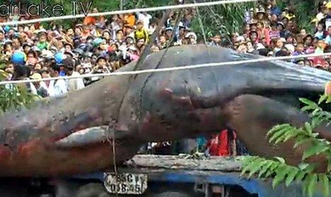 Un énorme animal marin intrigue en Asie du sud-est | Merveilles - Marvels | Scoop.it