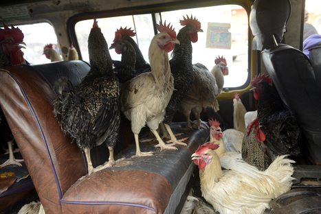 Flüchtlinge aus Westafrika: An den Hühnchen liegt es nicht | Agrarforschung | Scoop.it
