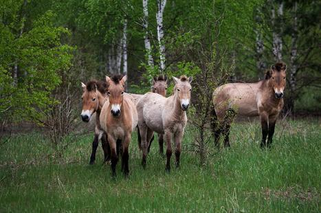 Animals Rule Chernobyl 30 Years After Nuclear Disaster | Geography Education | Scoop.it