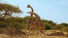 Shocking giraffe, rhino behaviors filmed nature special 'Africa' | Rhino poaching | Scoop.it