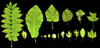 Simple Physics May Limit the Size of Leaves - ScienceNOW | Botany Roundup: Worthy Plant News | Scoop.it