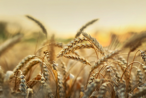 New Tools Will Drive Greater Understanding of Wheat Genes | DNA and RNA Research | Scoop.it