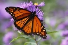 81% Monarch Butterfly decline linked to genetically modified crops | Vertical Farm - Food Factory | Scoop.it