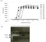 Development of reverse transcription loop-mediated isothermal amplification assay as a simple detection method of Chrysanthemum stem necrosis virus in chrysanthemum and tomato   Diagnostic activities for plant pests   Scoop.it
