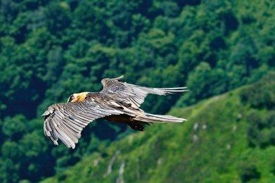 Environnement : pourquoi le gypaète fait peur au village de Larrau | Sauvegarde et Protection des animaux | Scoop.it