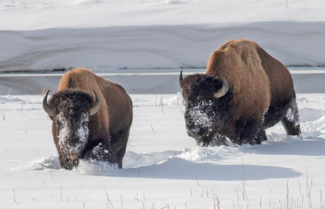 Yellowstone National Park will slaughter 1,300 genetically unique wild bison | Oceans and Wildlife | Scoop.it