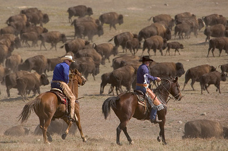 Extreme Sport We Love: Baby Buffalo Wrangling | Western Lifestyle | Scoop.it