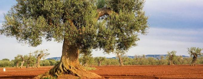 Charges Dropped Against Scientists in Lecce Xylella Case