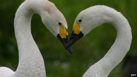 Swan numbers show 'alarming crash' | Sustain Our Earth | Scoop.it