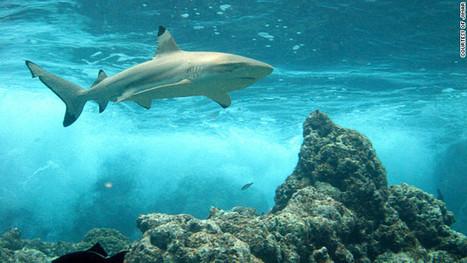 Se extingue la población de tiburones de arrecife en el Pacífico - CNN en Español – Ultimas Noticias de Estados Unidos, Latinoamérica y el Mundo, Opinión y Videos - CNN.com Blogs | Saber diario de el mundo | Scoop.it