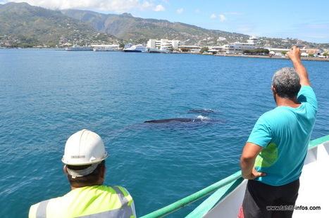 Insolite : des baleines dans la rade de Papeete | TAHITI Le Mag | Scoop.it
