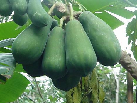 kỹ thuật trồng cây đu đủ nhiều trái-Chăm sóc cây trồng | tamdeptrai | Scoop.it