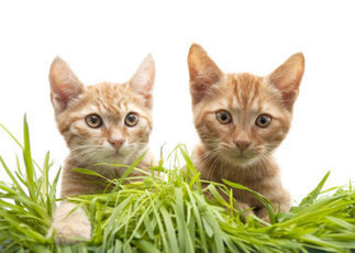 Scientists figure out how cats cause our allergies | Cats Cat History | Scoop.it