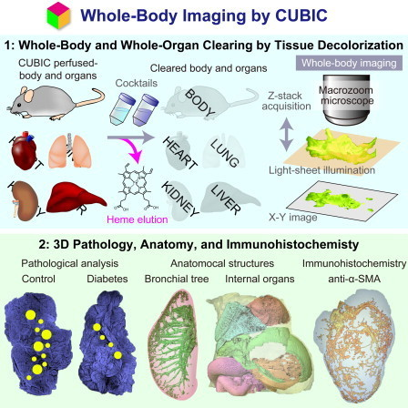 Whole-Body Imaging with Single-Cell Resolution by Tissue Decolorization | Amazing Science | Scoop.it