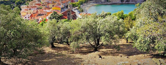 French Olive Sector Calls 2016 Harvest 'Catastrophic'