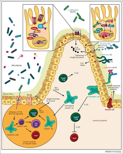 Regulation of intestinal homeostasis and immunity with probiotic lactobacilli | Immunology for University Students | Scoop.it