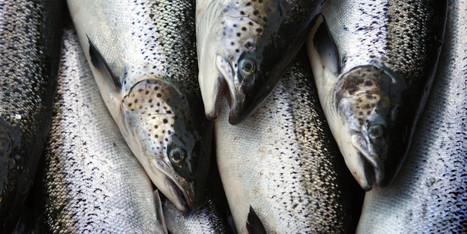 Farmed Salmon Are Not a Sustainable Alternative | All about water, the oceans, environmental issues | Scoop.it