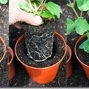 Transplanting: Potting Off and On | Gardening Inspiration and Information | Scoop.it