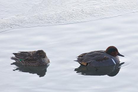 A Calgary Birder: Birding Banff in the New Year | Birds and Birding | Scoop.it