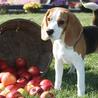 Beagles Perú
