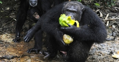Scientists on 3 continents now have evidence: Some chimps have entered the Stone Age. | Veille développement durable | Scoop.it