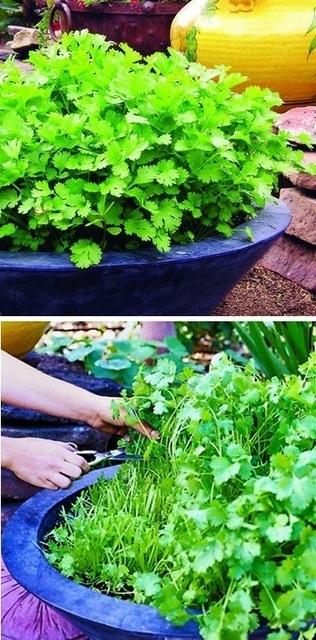 Continuous cilantro growing method | Backyard Gardening | Scoop.it