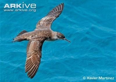 ARKive blog Endangered Species of the Week: Balearic shearwater - | Corinne | Scoop.it