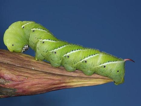 Vermont Garden Journal: Tomato Hornworms | Entomophagy: Edible Insects and the Future of Food | Scoop.it