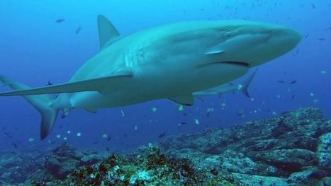 Vidéo plongée Full HD | Requins filmés en caméra espion ! | Plongeurs.TV | Scoop.it