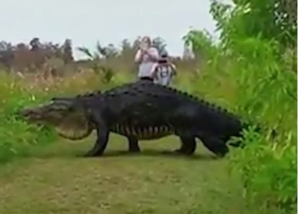 Massive Alligator Caught on Video Is Not a Hoax | Biodiversity protection | Scoop.it