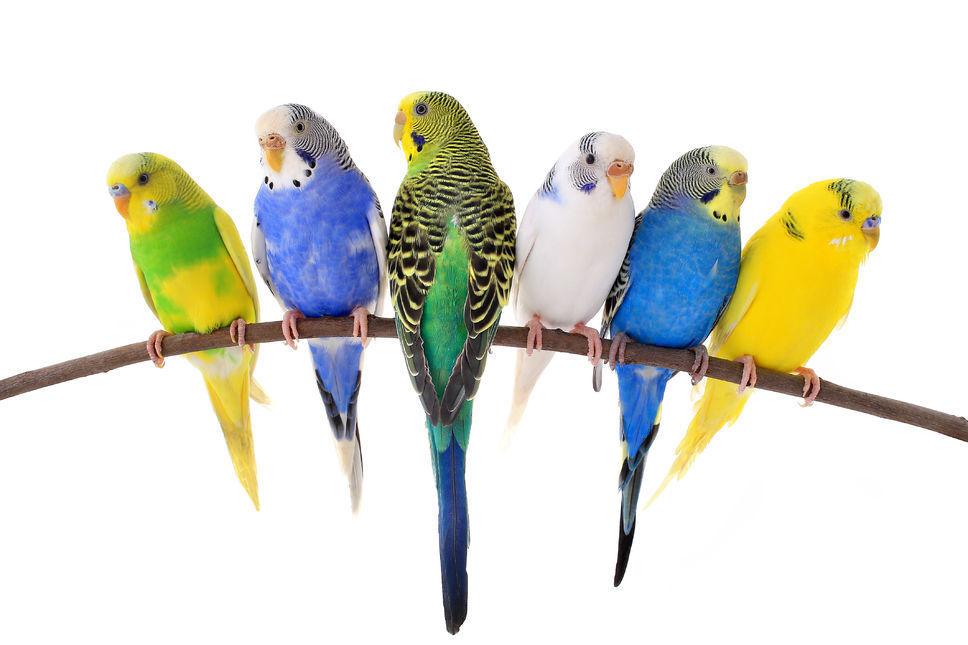 Des aliments nocifs pour votre oiseau