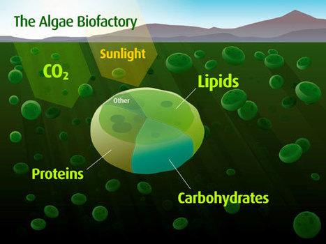 Algae biofuels: the wave of the future | Algae | Scoop.it
