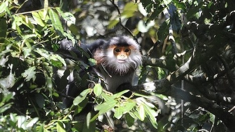 Suspected Vietnam poachers probed for 9 dead endangered primates | Wildlife Trafficking: Who Does it? Allows it? | Scoop.it