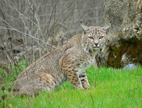 Illinois Governor Quinn Vetoes Bobcat Hunting Bill | Trophy Hunting: It's Impact on Wildlife and People | Scoop.it