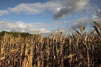 Poland To Ban Strain Of Monsanto Genetically Modified Corn | GMO Agriculture | Scoop.it