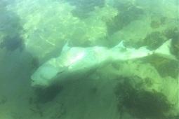 Floating shark surprises fishermen - so sad these beautiful fish are being caught! | Indigo Scuba | Scoop.it