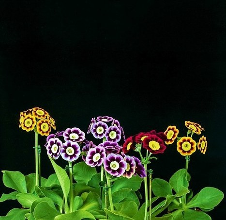 Delicate but tough - and bursting with colour - auriculas are all the rage again - Daily Mail | Auriculas and  other Gardening topics | Scoop.it