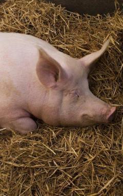 Hausse du porc : temps de cochon pour les PME bretonnes de l'agroalimentaire | Actualité de l'Industrie Agroalimentaire | agro-media.fr | Scoop.it