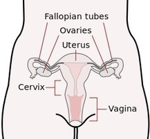 What Is Cervical Screening? What Is The Pap Test?   Social Activities and News   Scoop.it