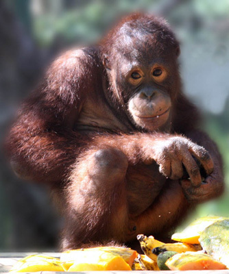 Adopt an Orangutan | redapes.org | Nature Animals humankind | Scoop.it