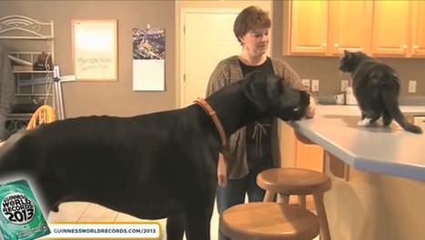 Zeus, le plus grand chien du monde, est mort - Insolite - MYTF1News | CaniCatNews-actualité | Scoop.it