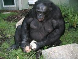 What Do We Learn From a Tool-Making Genius Bonobo and Copy-Cat Orcas? | Animals R Us | Scoop.it